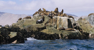 Sea lions on Pan de Azucar